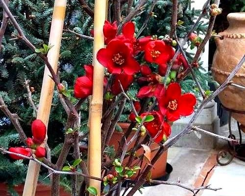 The Japanese quince (Chaenomeles speciosa)